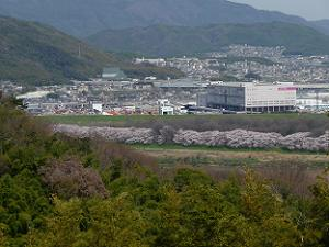 展望台から見た背割堤の桜