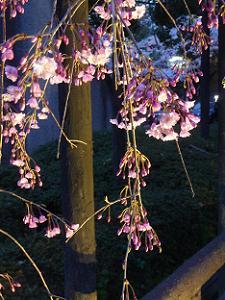 ライトアップされた枝垂れ桜