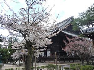 幹の太い桜