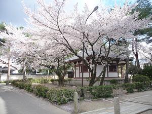本堂の東側の桜