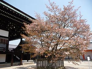 散りゆく左近の桜