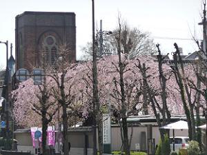 有栖川宮邸の枝垂れ桜