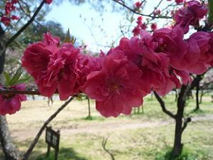 赤い桃の花
