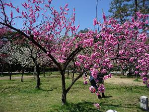 満開の桃の木