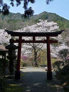 鳥居越しに見た桜