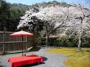 受付付近の桜
