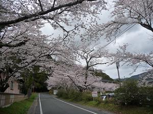 道路の桜並木