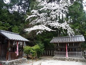 北東角の桜
