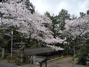 拝殿付近から見下ろす桜
