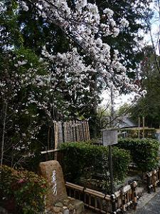吉野太夫のお墓近くのソメイヨシノ