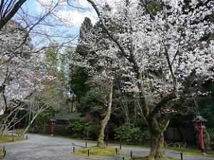 常富大菩薩堂近くのソメイヨシノ