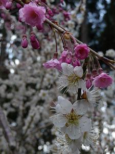 白梅と八重紅枝垂れ桜