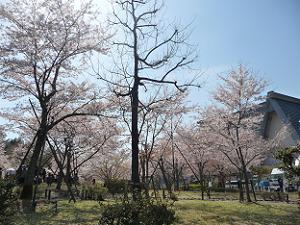 見納めの桜風景