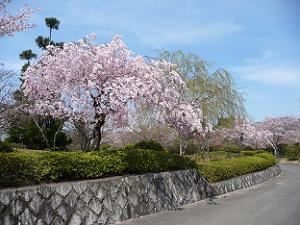 入口付近の枝垂れ桜