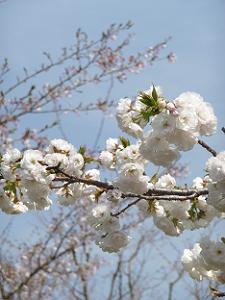 真っ白な八重桜