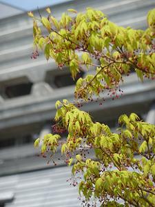カエデの新緑と花