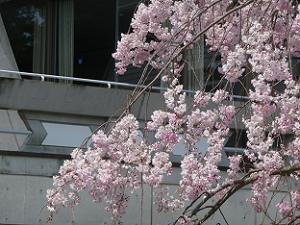 降り注ぐ枝垂れ桜