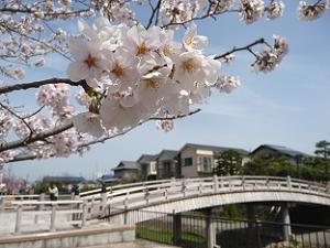 安居橋とソメイヨシノ