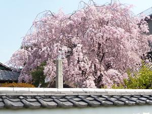 塀越しに見る八重紅枝垂れ桜