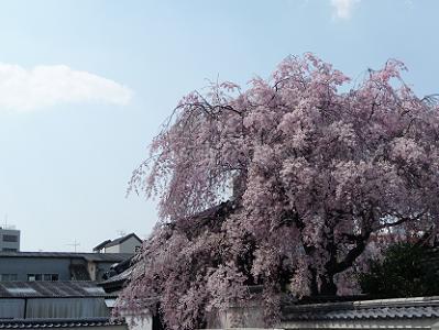 八重紅枝垂れ桜と青空