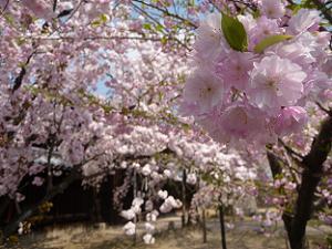 小さな八重桜