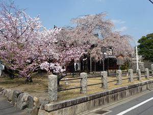 花が散った枝垂れ桜