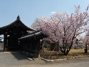 山門脇の八重桜