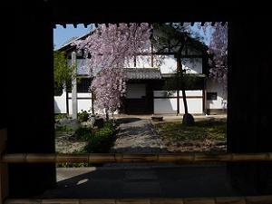 額縁風に見る枝垂れ桜