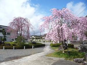 太陽に照らされた枝垂れ桜