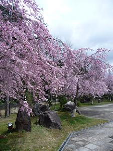 並んで咲く枝垂れ桜