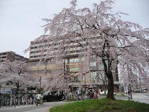 一重白彼岸枝垂桜