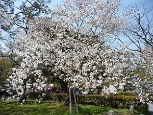 満開の八重咲きの桜