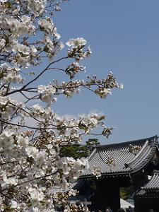 八重桜と御所の門