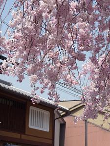 見上げる八重紅枝垂れ桜