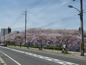 桜色に染まる一角