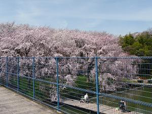釣り堀の枝垂れ桜