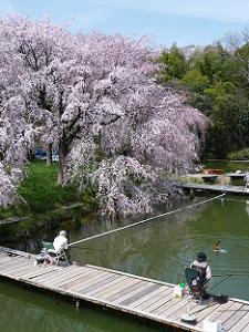 池にまで伸びる枝垂れ桜
