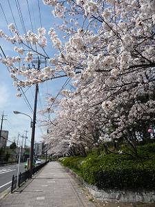 公園の入口付近のソメイヨシノ