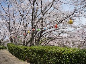 通路沿いの桜