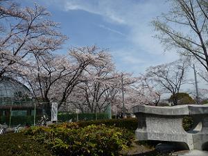 動物園付近の桜