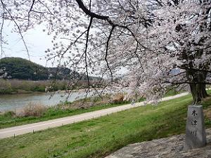 桜と木津川