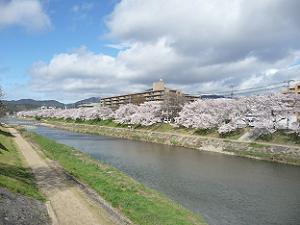 高野川の満開の桜並木