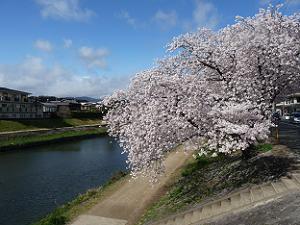 御蔭橋付近のソメイヨシノ