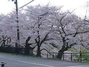 歩道から見た桜並木