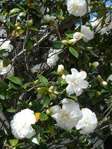 真っ白な椿の花