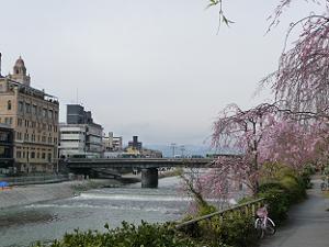 鴨川の枝垂れ桜