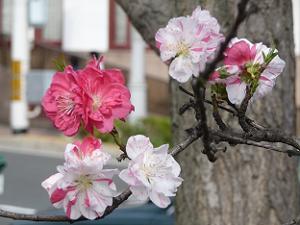 様々な色の桃の花