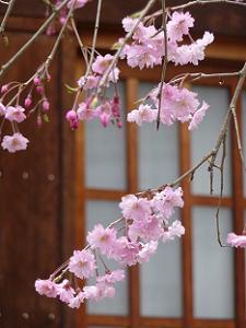 植えられたばかりの紅枝垂れ桜