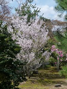 霊光殿脇の桜