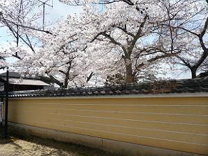 墓地の塀際の桜